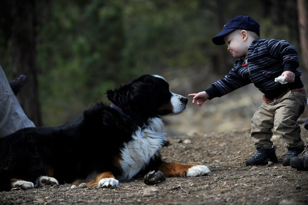 Carter Smith, 14 months, touches Cooper, a Bernese Mountain Dog, on the nose while the two take a break from playing at the Elk Meadow Dog Park in Evergreen on Saturday, March 30, 2013. Elk Meadow off leash park was recently recognized with a national award for working with community and exemplifying a strong relationship between Open Space and the community. Seth A. McConnell, YourHub