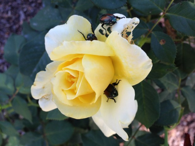 Japanese beetles -- a pest in Denver-area gardens in July and August -- feast on a rose.