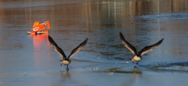 Canada geese fly away after being chased, Thursday, December 20, 2012, from City Park in Denver by the Goosinator. RJ Sangosti, The Denver Post