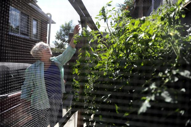 Maggie Doyle opens a cage she built around her tomato plants to keep squirrels away from the fruit at her home in Denver on Monday, August 8, 2011. Doyle began planting tomatoes about five years ago, but constantly dealt with squirrels eating the fruit and dropping the remains on the ground. Four years ago, she built the cage, which has resulted in no squirrel invasions. AAron Ontiveroz, The Denver Post
