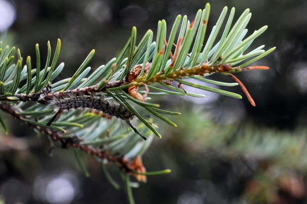 EVERGREEN, CO - JULY 15: A tussock moth caterpillar chews the needles of a fir tree along the North Fork of the South Platte in Jefferson county, Colorado on July 15, 2015. Residents along 285 are worried about the spruce bud worm and the tussock moth, which have damaged trees to their south along the Platte River. The tussock moth is a native species that cycles for 2-3 years every 7-10 years, according to a US Forest Service entomologist. (Photo by Seth McConnell/The Denver Post)