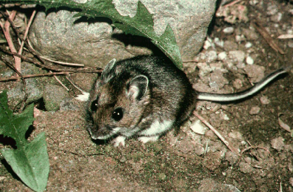 Risk of rare but deadly mouse-borne virus increases in the spring