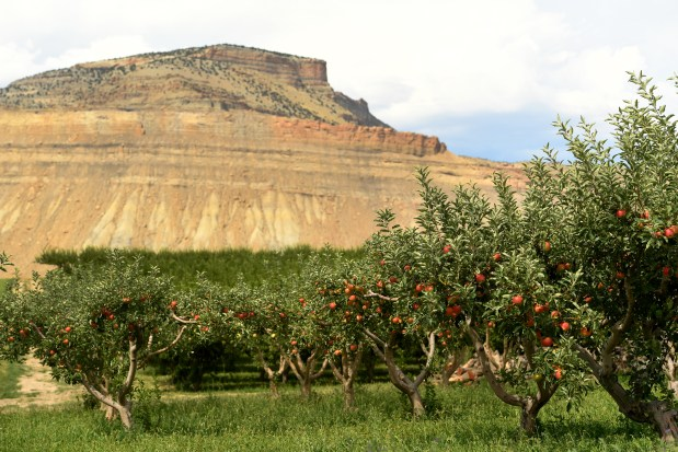 Apple harvest in Colorado hurting, but aims for comeback – The