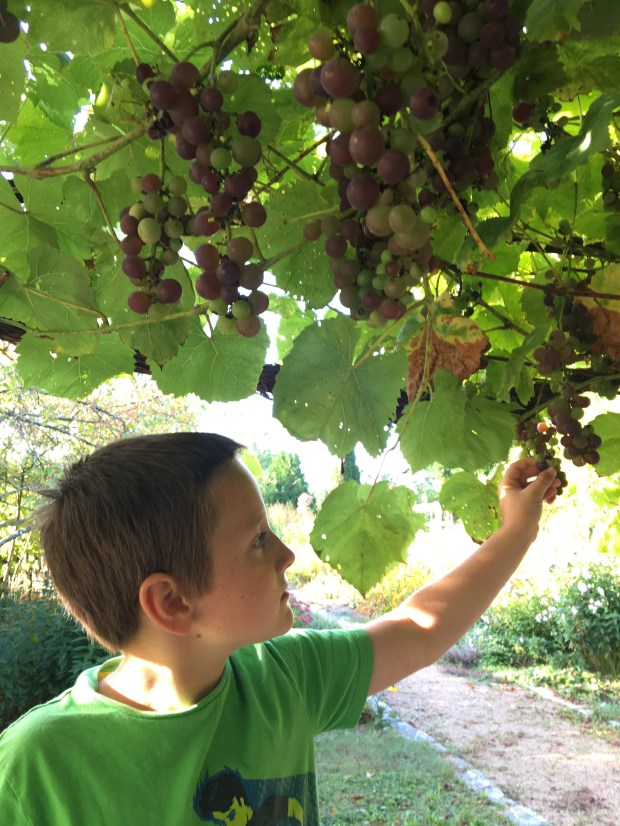 A photo of the author's step-grandson Hayden George, picking grapes off the vine. To persuade kids to eat garden crops, give them a variety of choices. MUST CREDIT: Robbie George.