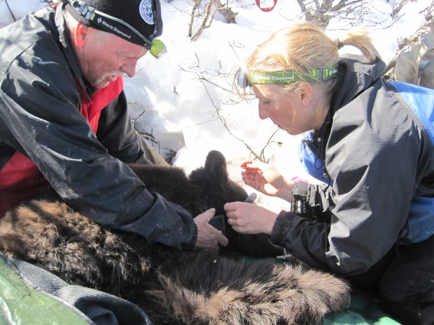 "Researchers visit bear ""B27"" to monitor reproductive status, download data off the collar, replace the collar battery and collect information about body condition outside the bears den in Perins Peak State Wildlife Area near Durango in March 2016."