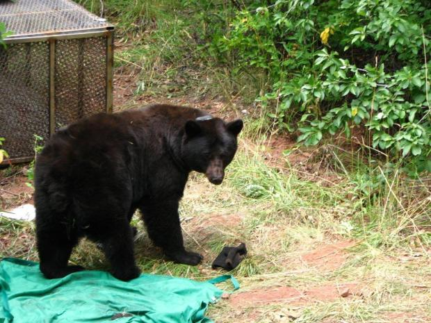 A bear in the vicinity of Falls Creek, just north of Durango, waking up after researchers attached a collar.