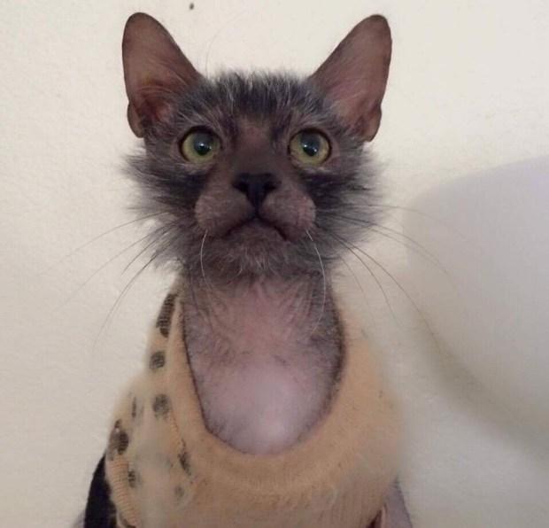 "The rare Lykoi or ""Werewolf Cat."""