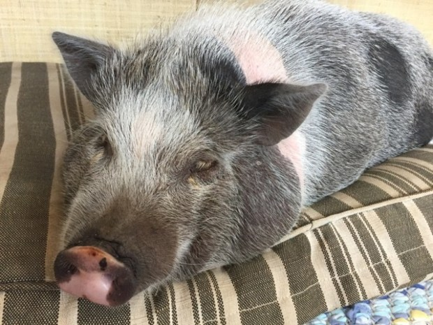 Nigel, a teacup pig with a big appetite, got even hungrier after eating peanut butter cookies that contained marijuana.