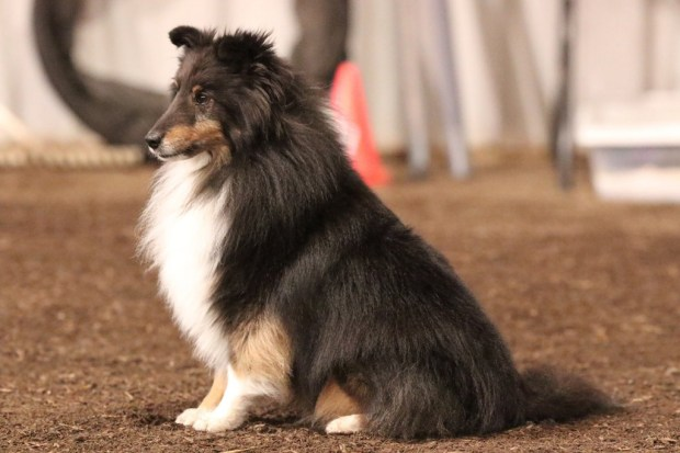 Star, a 6-year-old sheltie from Oregon, spent a night at the vet after getting into a supply of marijuana.