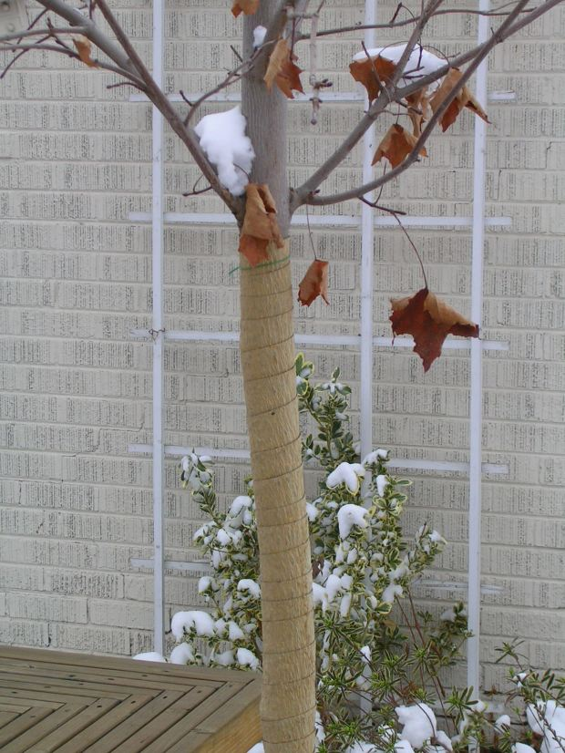 Get your trees ready for winter now. Prevent winter sunscald damage to trunks of young, thin-barked, leafless trees by covering them with tree-wrap, which is sold in garden centers.