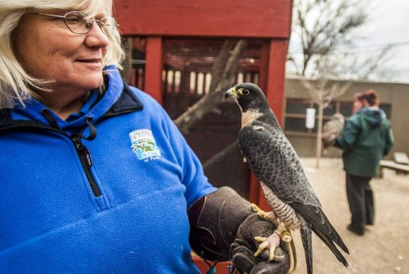 Director Diana Miller displays a peregrine falcon at the Nature and Raptor Center of Pueblo on December 8, 2016.