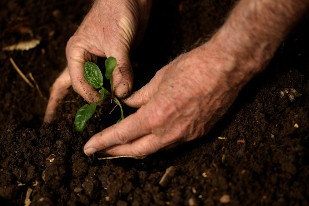 David Wann, planting spinach in the ...