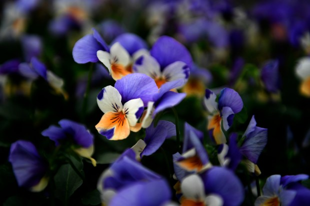 Penny Peach Jump Up Violas at Hardy Boy Plants/Welby Gardens in Denver. The National Garden Bureau declared 2017 the Year of the Pansy. March 16, 2017, Denver.