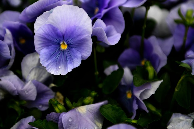 Matrix Light Blue pansies at Hardy ...