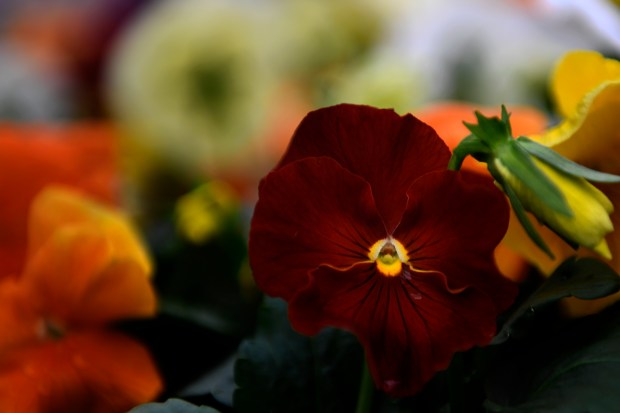 A pure red pansy in a ...