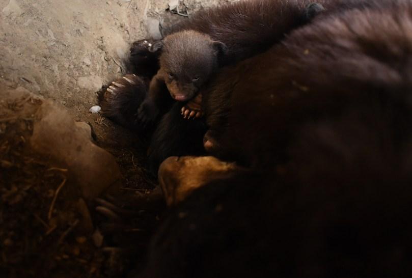 Black bear in a den
