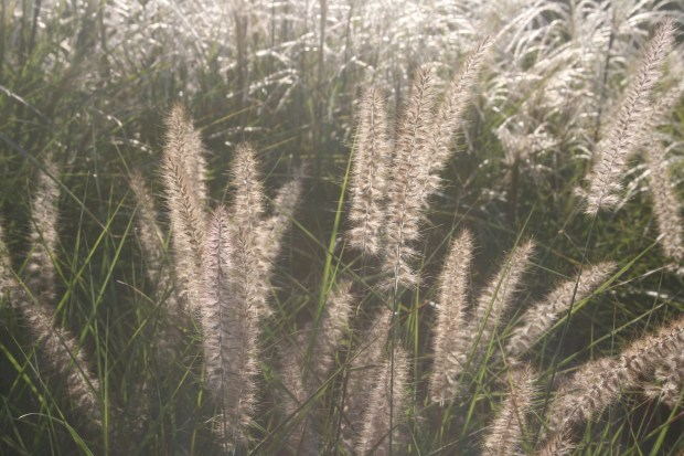 Grasses at Fordhook Farm in Doylestown, Penn., show how fine-textured plants can accentuate gardens at certain times of the day. Color is primary in garden planning but visual texture is an important design fundamental adding interest.