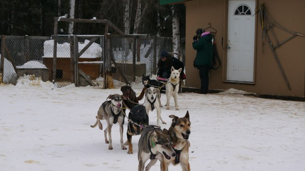 Amy Dunlap of Salcha, Alaska gears up with eight English Pointer and Siberian Husky mixes to take Makayla Sanchez of Colorado Springs on a tour of the route she uses to practice for her races on Monday, March 27, 2017.