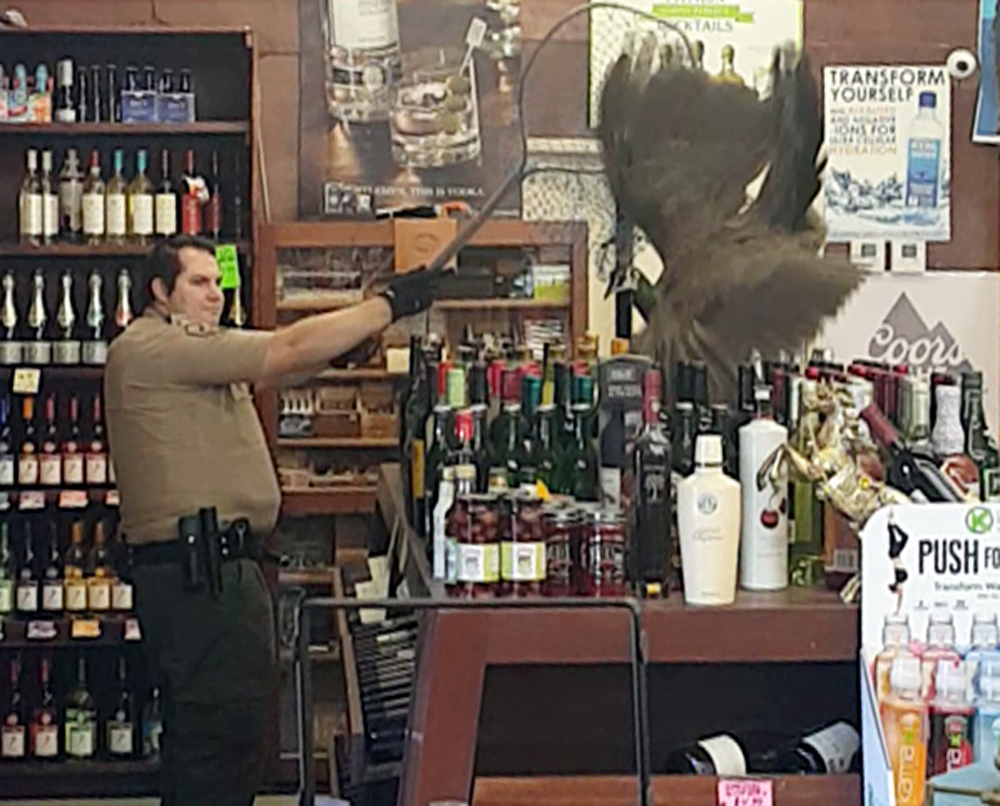 Peacock takes out $500 in wine after crashing liquor store