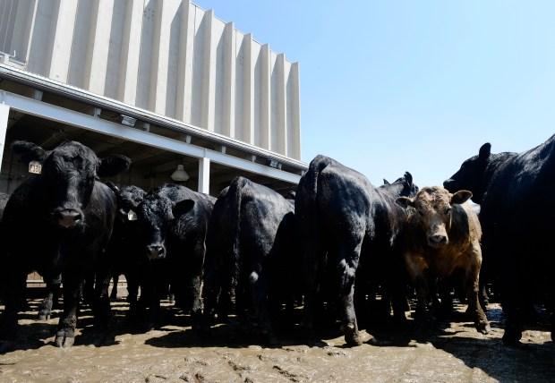 Beef cattle in pens