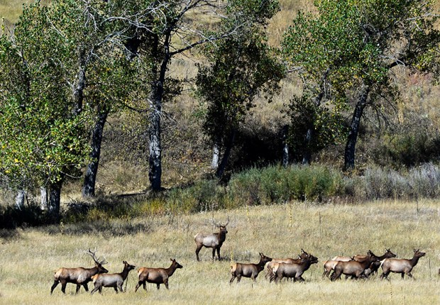 A herd of elk walks though a valley at the Rocky Flats National Wildlife Refuge on Sept. 25, 2015.