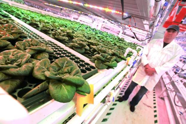 Tommy Romano stands alongside some of lettuce being grown at Infinite Harvest, 5825 West 6th Ave. Frontage Road in Lakewood. The farm is a hydroponic vertical farm that produces year-round.