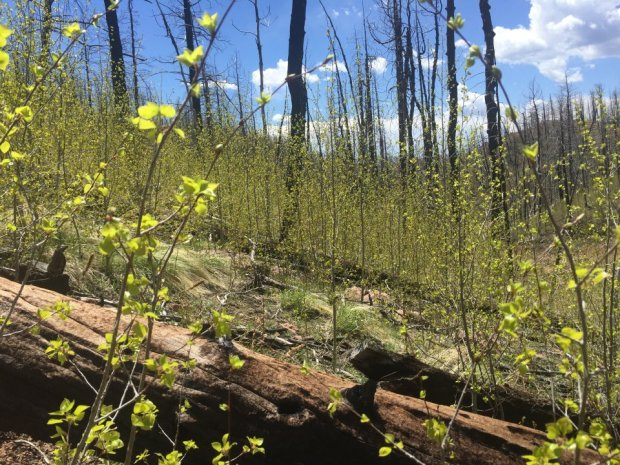 Aspens sprout in an area along the Waldo Canyon fire burn scar. As part of the natural cycle of the forest, aspens are expected to replace conifers as the dominant tree species across the burn scar.