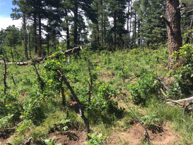 Officials found two illegal marijuana grows, with more than 7,400 plants, on federal forest land near Rye, a town of about 200.