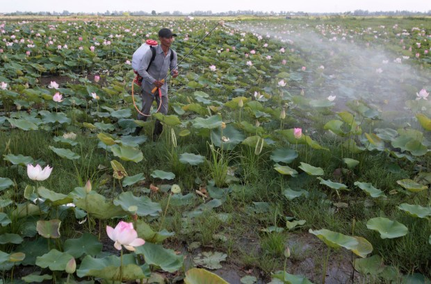 In this April 25, 2017 photo, Sriev Kry, former enslaved fisherman sprays pesticide at his lotus farm in Koh Thom province, southeast Phnom Penh, Cambodia. He wasn't sure he'd ever make it back home to the emerald green rice paddies and pink lotus flowers he farmed together with his wife. Now he's happy to be home and vows he'll never leave his family again.