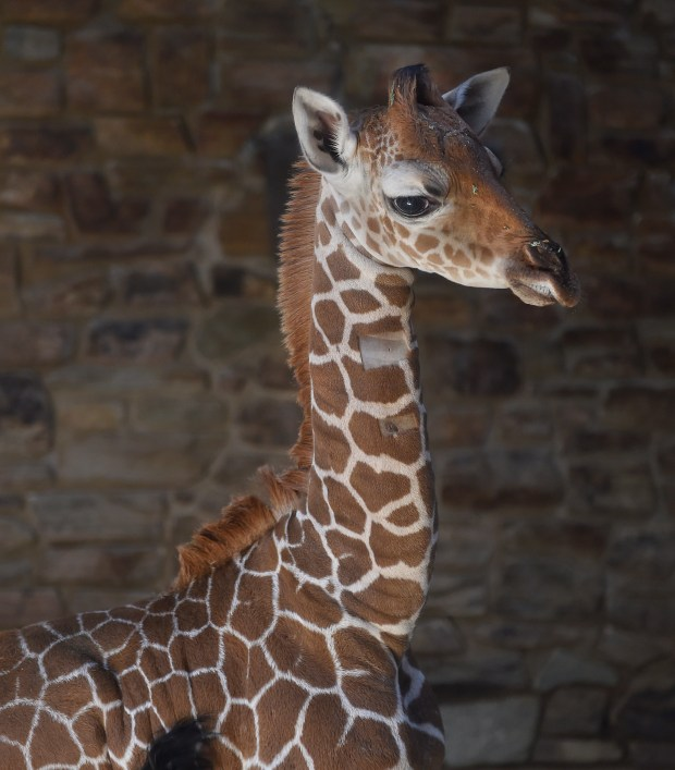 FILE - This June 28, 2017 file photo provided by The Maryland Zoo shows a baby giraffe, Julius, in Baltimore. The Maryland Zoo says the young giraffe calf born June 15 has died. Don Hutchinson, the zoo's CEO, said Saturday, July 15, 2017, that veterinary staff and an animal care team put their lives on hold and explored every avenue to try to nurse Julius back to health. (Jeffrey F. Bill/The Maryland Zoo via AP, File)