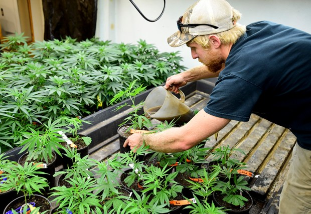 An employee of Green Tree Medicinals growing facility in Berthoud waters medical marijuana plants on Sept. 6, 2016.