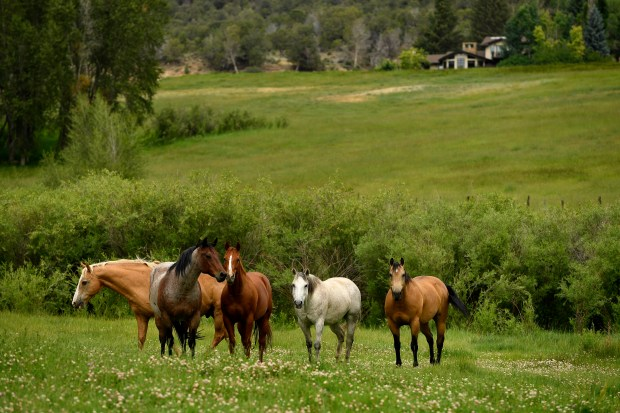 Horses graze in the lush fields ...