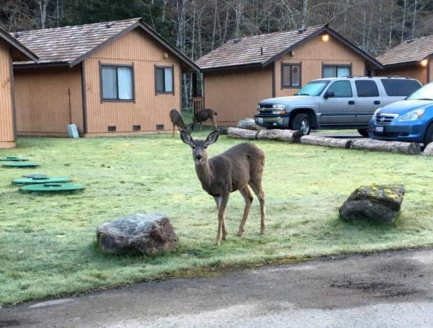 A deer -- and friends -- frolic at Sol Duc Hot Springs Resort.