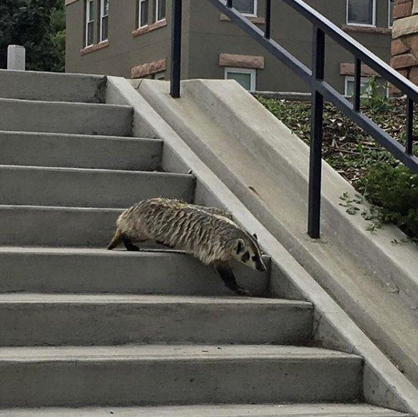 "University of Colorado officials tweeted this photo of a badger on campus Wednesday morning and asked people to steer clear of the ""extremely dangerous animal."