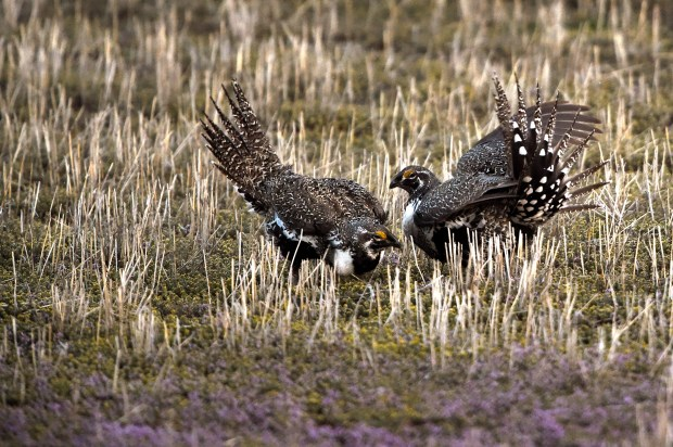 Greater sage grouse jockey for position during mating season on the McStay Ranch in Craig on April 7, 2015. Interior Secretary Ryan Zinke has called for a new review of 2015 greater sage grouse conservation plans.