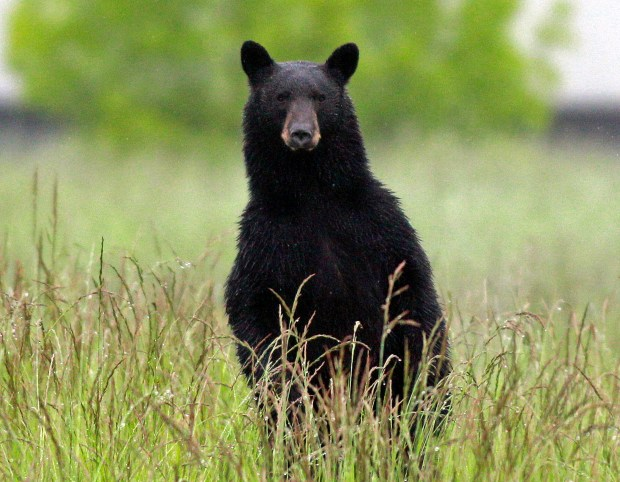 Colorado wildlife officials warn of frequent bear encounters