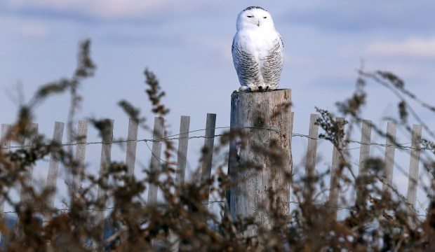 In this Thursday, Dec. 14, 2017 photo, a snowy owl sits atop a fence post after being released along the shore of Duxbury Beach in Duxbury, Mass. This month, snowy owls were listed as vulnerable — one step away from endangered — by the International Union for Conservation of Nature. They're protected in the U.S. under the Migratory Bird Act.
