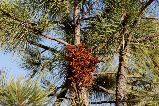 The tangle of orange twigs is dwarf mistletoe, a common parasite on ponderosa pines.