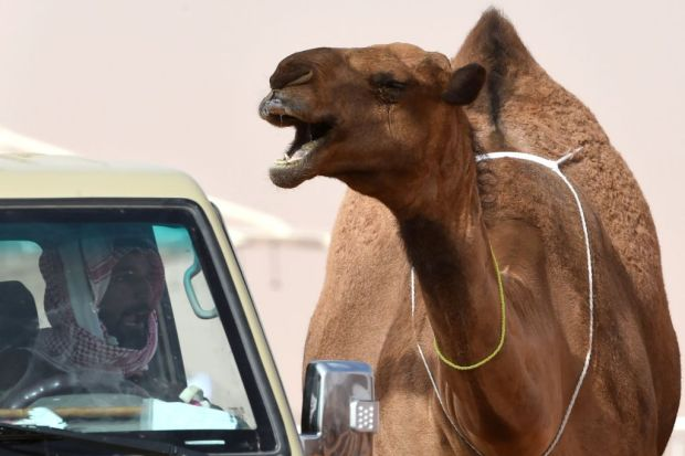 A camel stands next to a ...