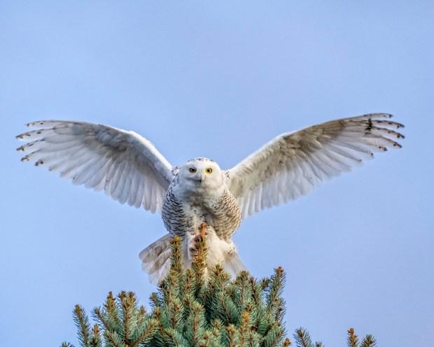 A snowy owl in flight Dec. 29, 2017 near Stanley Lake in Westminster.