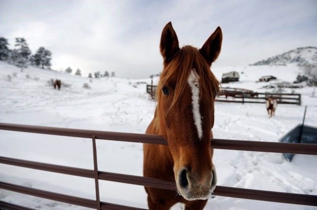 A horse looks over a fence ...