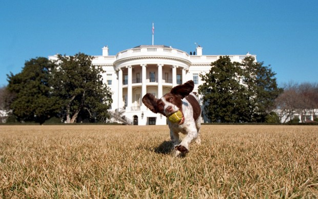 Spot, President George W. Bush's dog, plays on the south lawn of the White House in 2001. Spot's mother was Millie, President George H.W. Bush's White House pet.