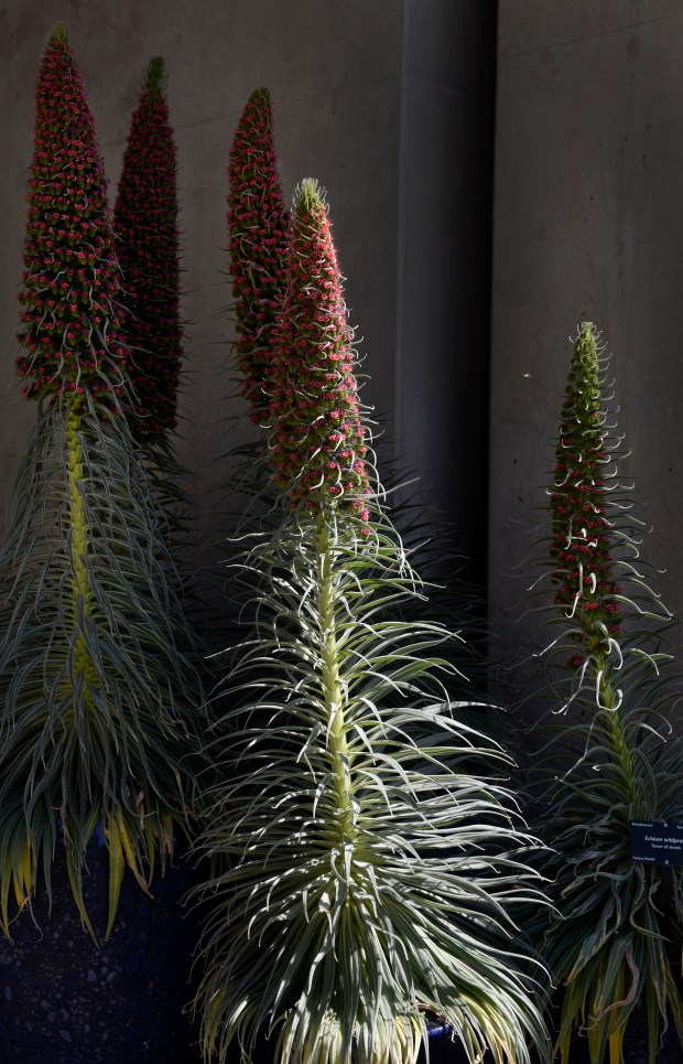 Warm spring temperatures brings an abundance of plants and flowers to the surface, including Tower-of Jewels, Echium wildpretii, at the Denver Botanic Gardens on April 19, 2017 in Denver.
