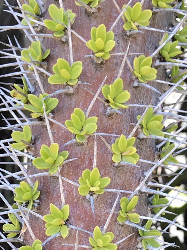 rosettes of leaves surrounded by sharp spikes