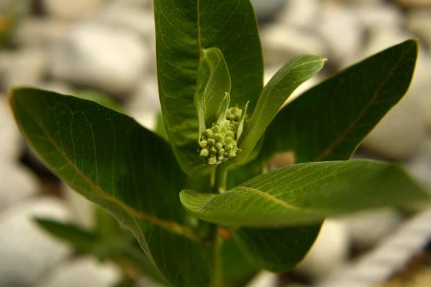 Colorado Showy Milkweed is part of ...