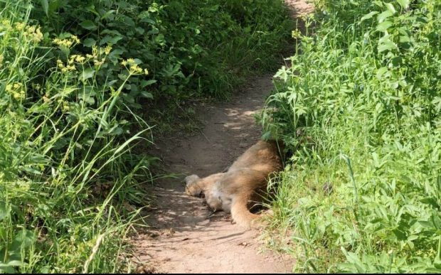 The animal was still partially on the trail and still breathing but would not respond to audible or physical stimuli.
