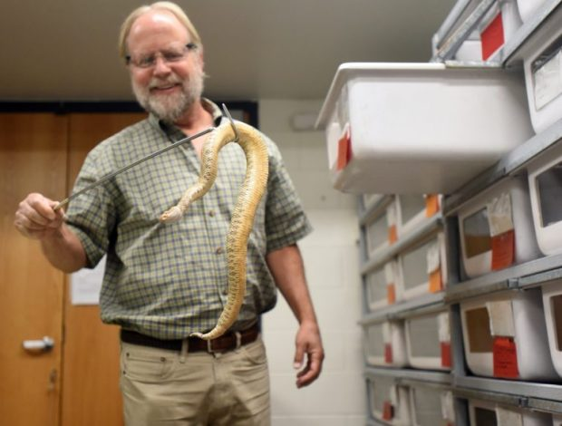 Steve Mackessy smiles as he retrieves a snake to extract venom from last week at Ross Hall on the University of Northern Colorado campus in Greeley. Mackessy has been using snake venom for research into a number of medical applications.