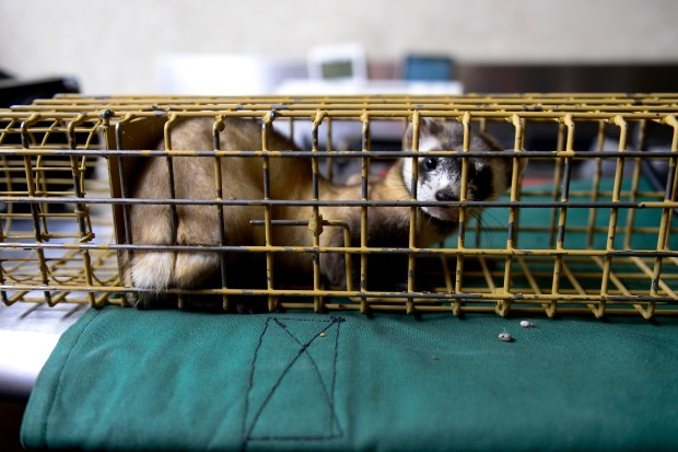 A black-footed ferret waits inside it's ...