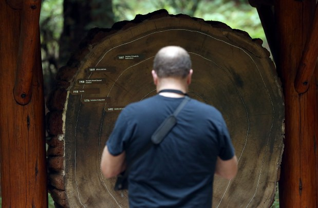 A park visitor looks at age rings on a cut section of a Coastal Redwood tree at Muir Woods National Monument on August 20, 2013 in Mill Valley, California.