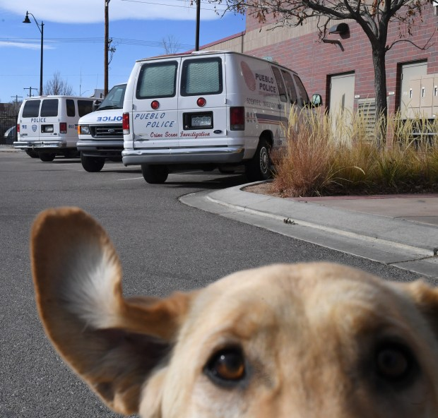 Sage, a yellow lab, plays outside the Pueblo Police Department